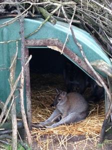 wallaby in rain