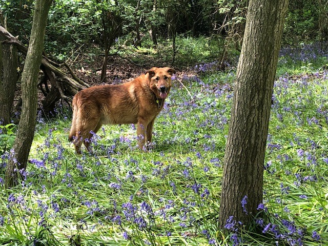 Max in bluebells